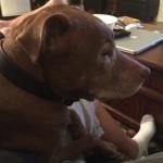 Biggest lap dog .. #pitbull #shelovesme