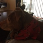This dog has the life.. #pitbull #biggestlapdog